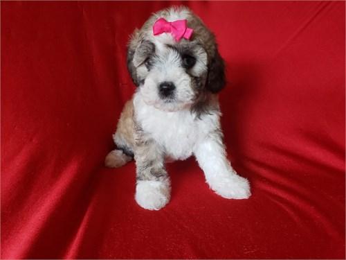 Shih-Poo Puppies