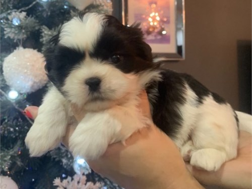 Amazing Shihtzu puppies