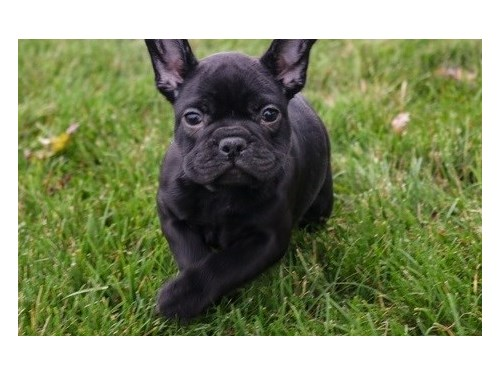 Excellent French bulldog