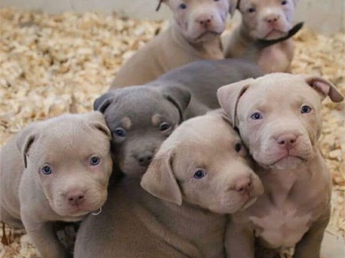 Healthy Pitbull puppies