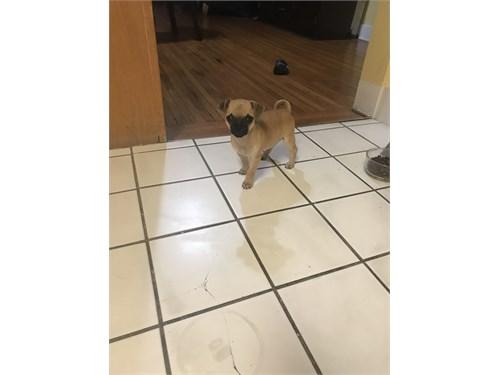 Chihuahua/ Pug Mix