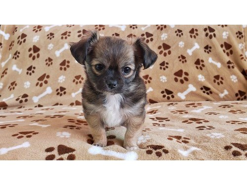 Chihuahua Puppies Going
