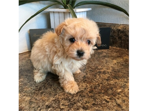 Awesome maltipoo