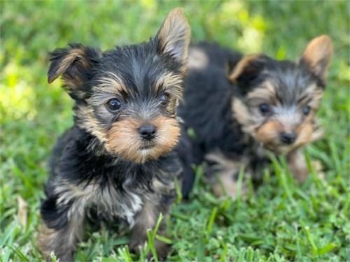 Toy Yorkie Puppies