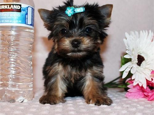 Tiny yorkie boy Lou
