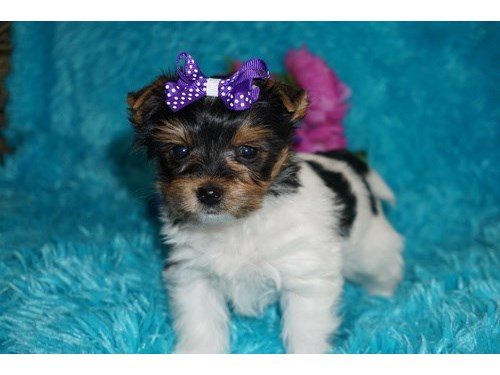 True T-Cup Yorkie Puppies