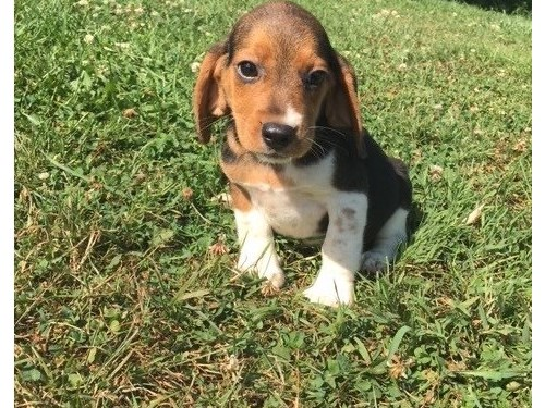 Lovable beagle puppies