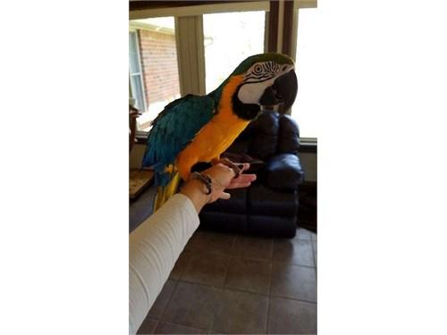Xmas Blue & Gold Macaw