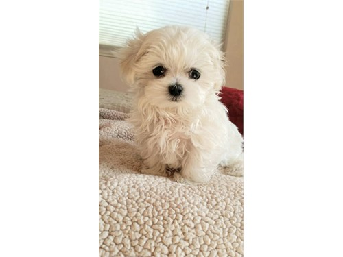 AKC Tea C Maltese puppies