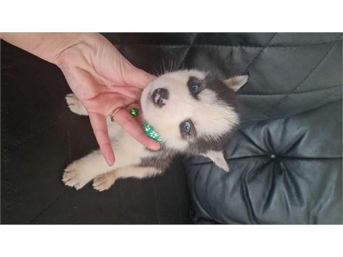 Ckc Siberian Husky puppie