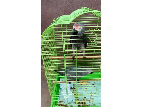 Congo African parrot Rea