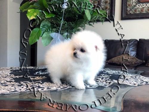 AKC White Male Pomeranian