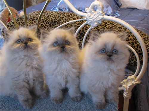 Himalayan Persian Kittens