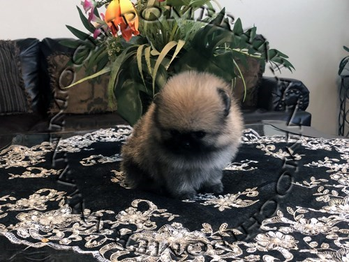 AKC Teacup Male Pom