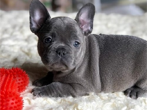 French bulldog puppy /