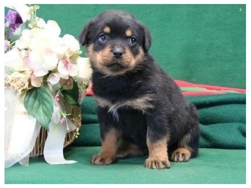 capable Rottweiler puppie