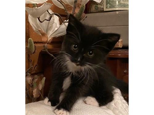 Tuxedo Kitten 10weeks