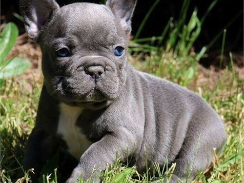 Reg. M&F French Bulldog