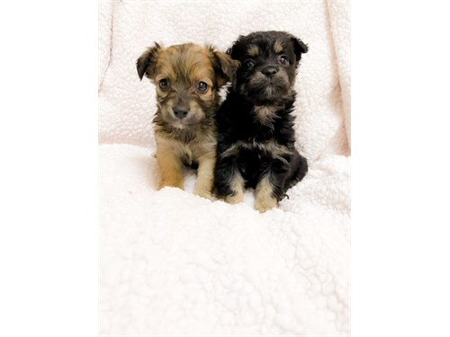 TEACUP MORKIE PUPPIES!