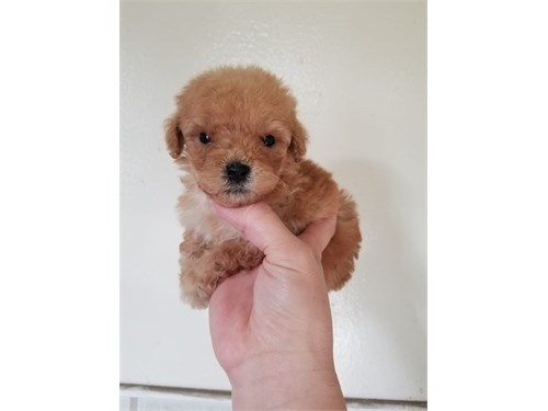 Oversize Toy Poodle