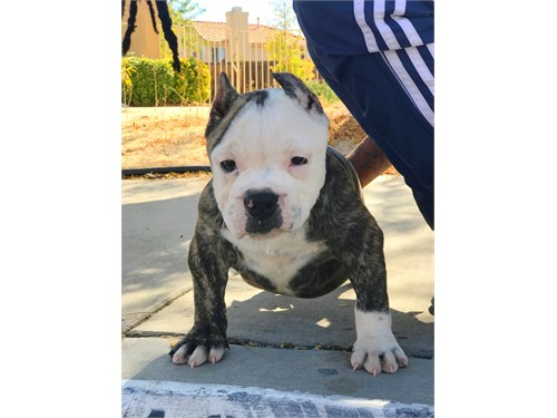 Exotic American bully