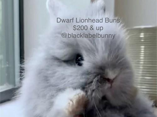 Dwarf Lionhead 11/11