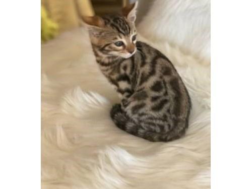 Exuberant Bengal Kittens