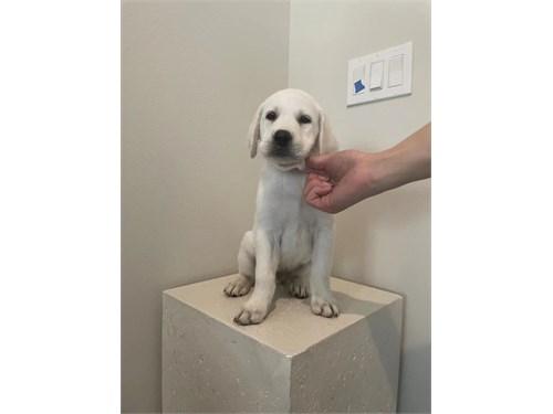 AKC Pure White Labrador