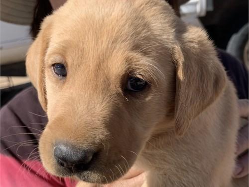 AKC Labrador Puppy Ranger