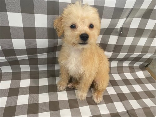 Tan maltipoo female