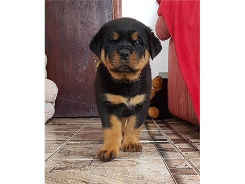 Male Rottweiler 4 sale