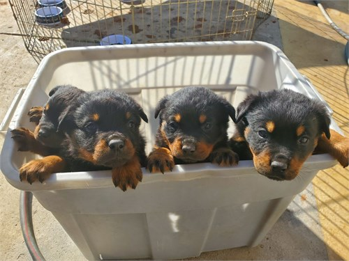 German Rottweilier Pups