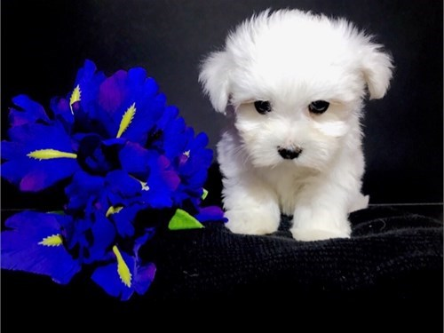 TINY MALTESE PUPPIES FOR
