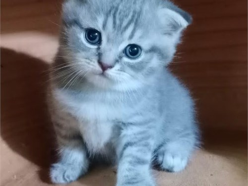 Loving Scottish Fold