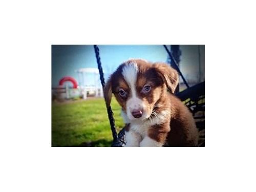 Aust shep_herd puppies