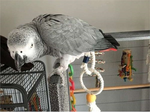Trained African Greys