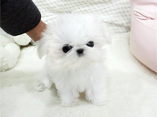 Cheap Maltese Puppies