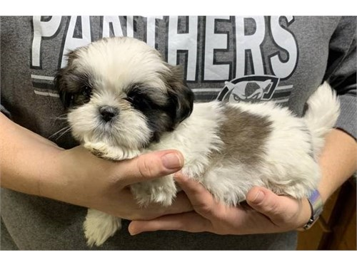 Gorgeous Shihtzu puppies