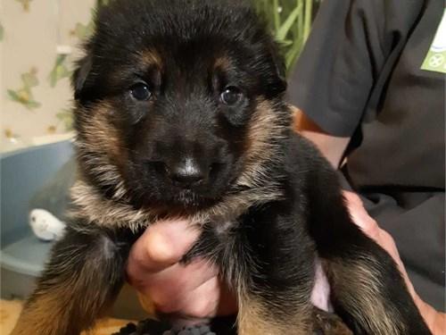 ../Ger.man She.pherd pups