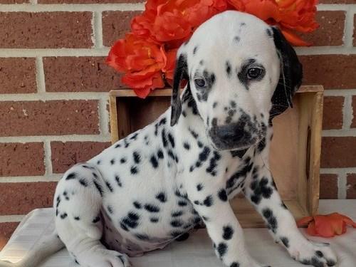 Remarkable Dailmatian Pup
