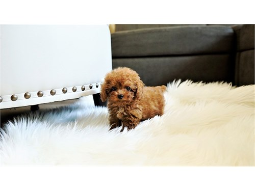 Teacup/ Toy Red Poodle