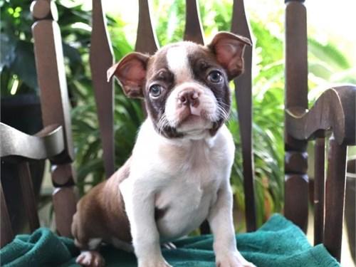 adorable Boston Terrier p