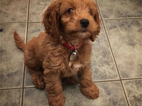 Available  Cockapoo pups