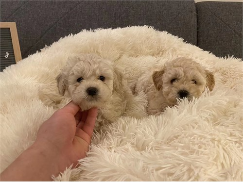 Super Cute Maltipoo Puppy
