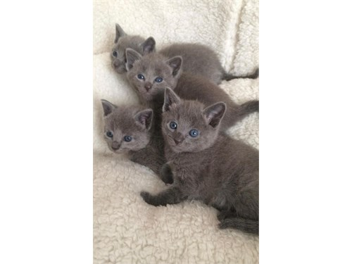 Cute Russian blue kittens