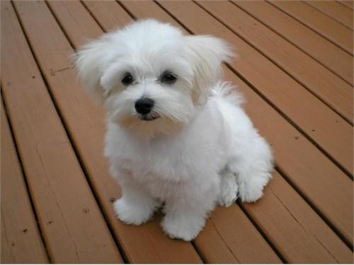 Cute Maltese puppies