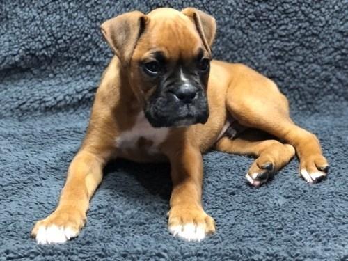 Adorable Fawn Boxer Puppy