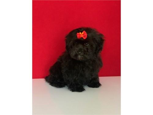 Black Maltipoo Puppies