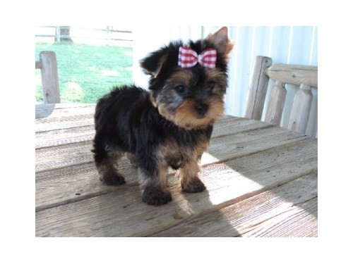 nice baby face Yorkie Pup