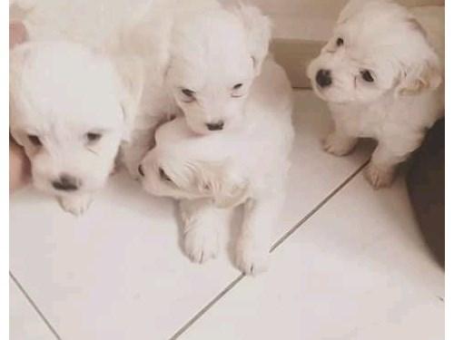 Home Raised Maltese Pups